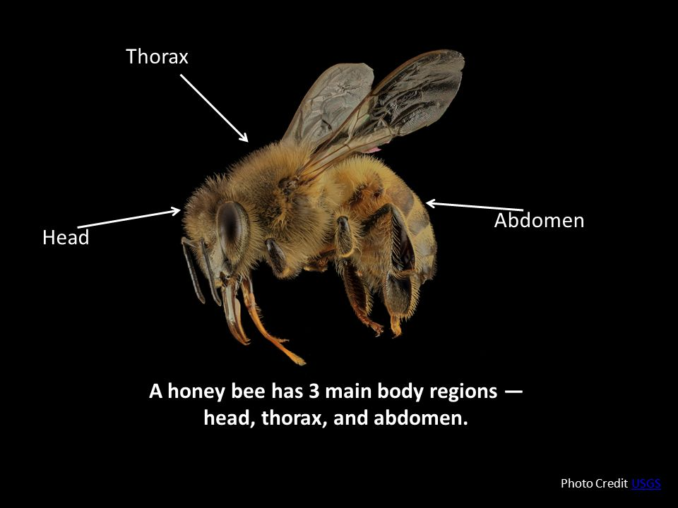 A honey bee has 3 main body regions — head, thorax, and abdomen.