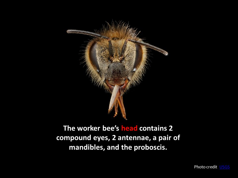 The worker bee's head contains 2 compound eyes, 2 antennae, a pair of mandibles, and the proboscis.