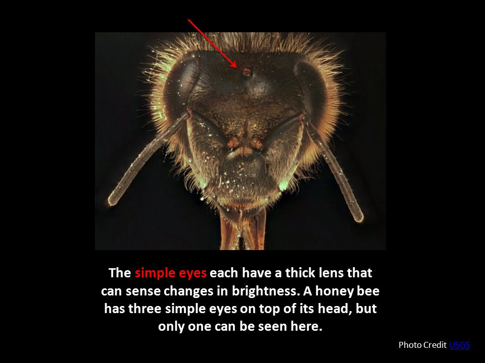 The simple eyes each have a thick lens that can sense changes in brightness. A honey bee has three simple eyes on top of its head, but only one can be seen here.