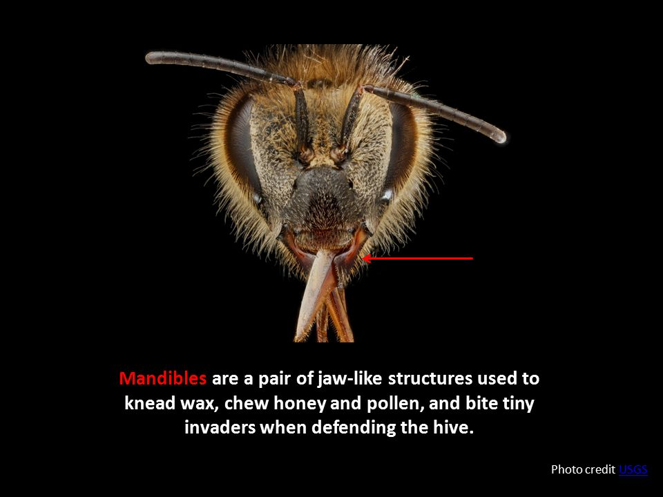 Mandibles are a pair of jaw-like structures used to knead wax, chew honey and pollen, and bite tiny invaders when defending the hive.