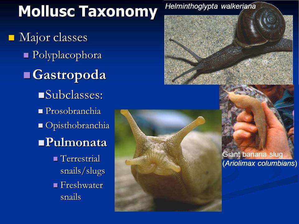 Mollusc Taxonomy Gastropoda Major classes Subclasses: Pulmonata
