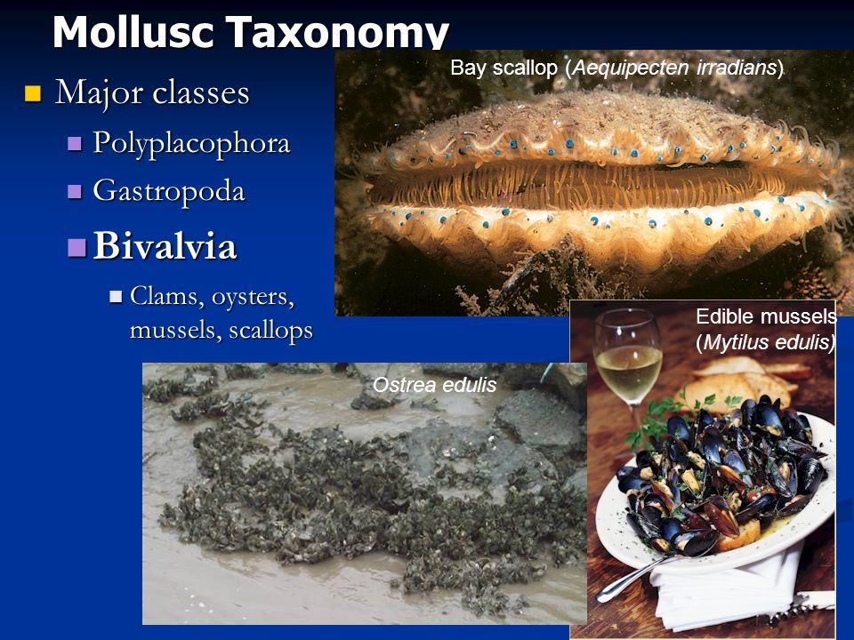 Mollusc Taxonomy Bivalvia Major classes Polyplacophora Gastropoda