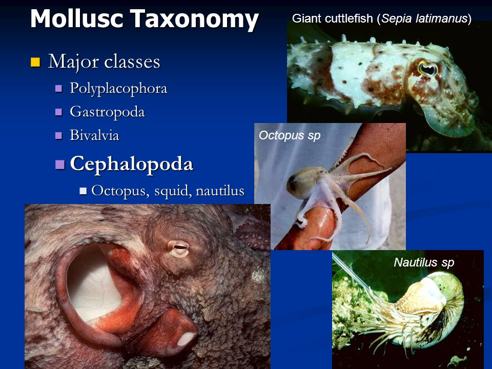Mollusc Taxonomy Major classes Cephalopoda Polyplacophora Gastropoda