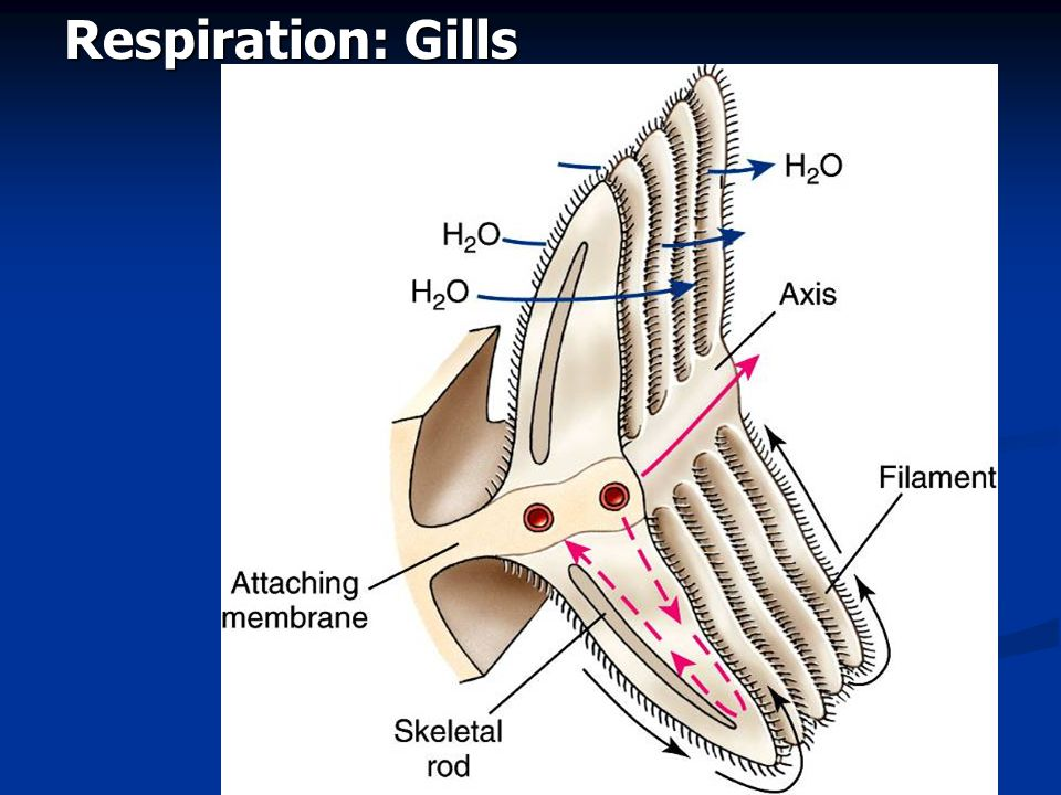 Respiration: Gills Fig. 16.4