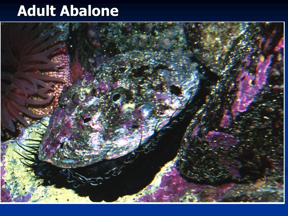 Adult Abalone Fig. 16.15a