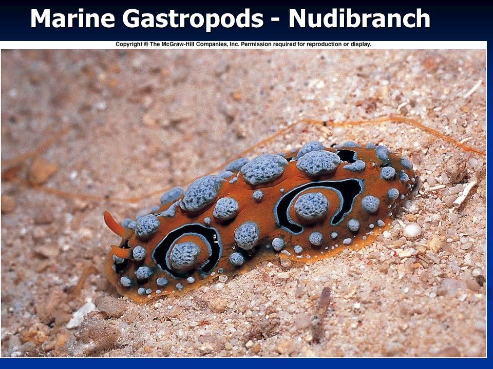 Marine Gastropods - Nudibranch
