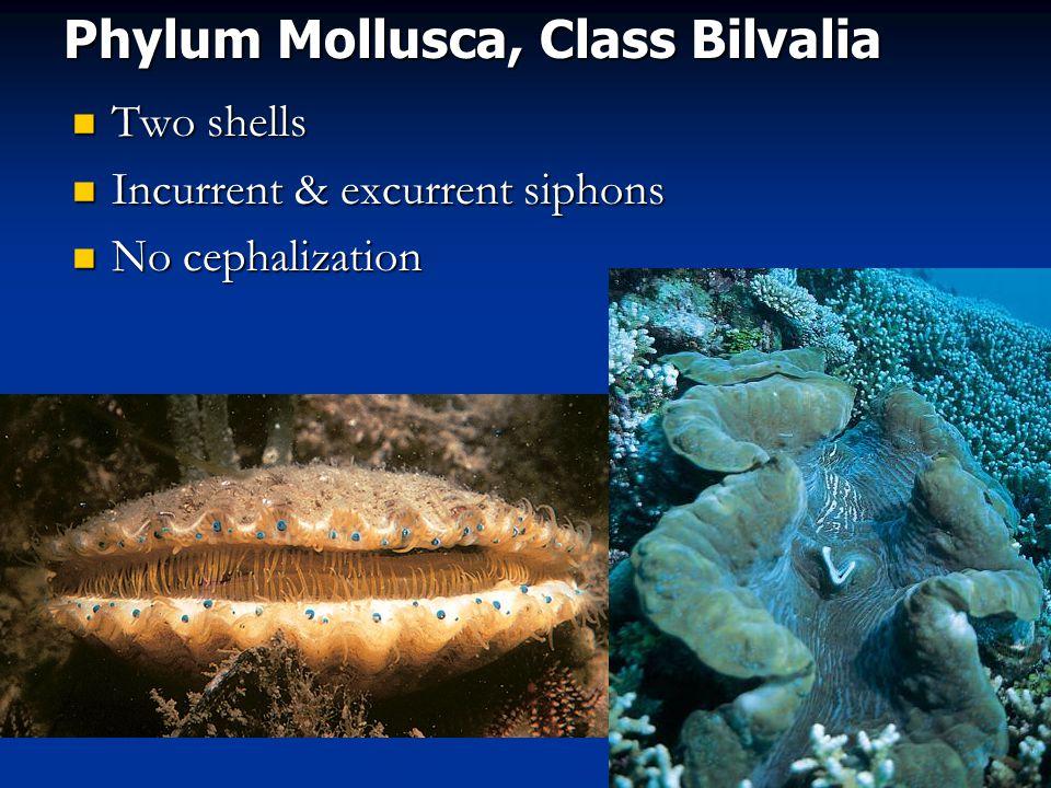 Phylum Mollusca, Class Bilvalia