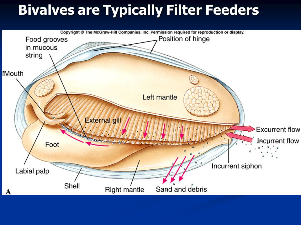 Bivalves are Typically Filter Feeders