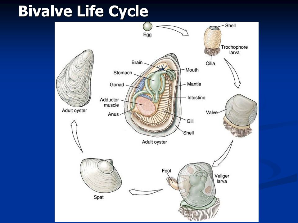 Bivalve Life Cycle Fig. 16.34