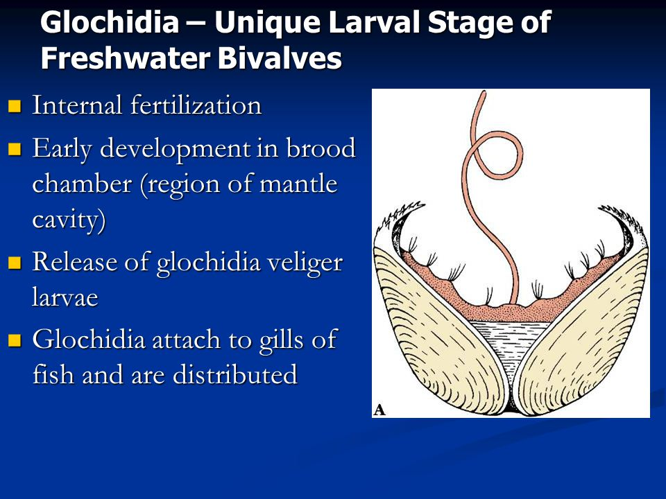 Glochidia – Unique Larval Stage of Freshwater Bivalves
