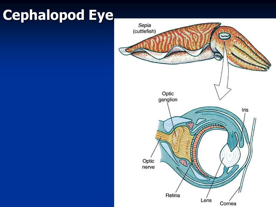 Cephalopod Eye Fig. 16.39