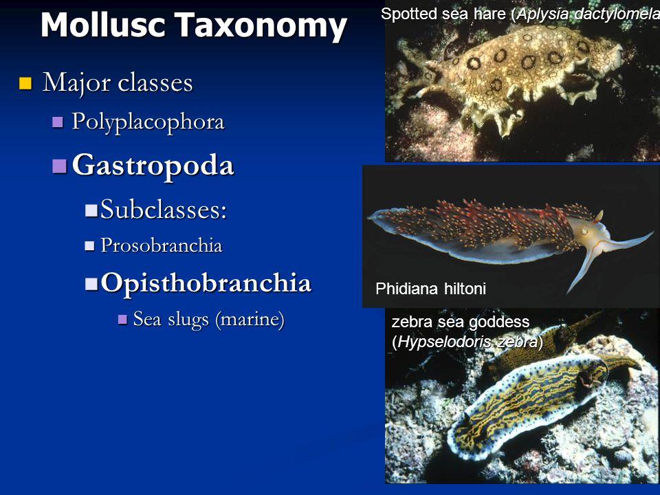 Mollusc Taxonomy Gastropoda Major classes Subclasses: Opisthobranchia