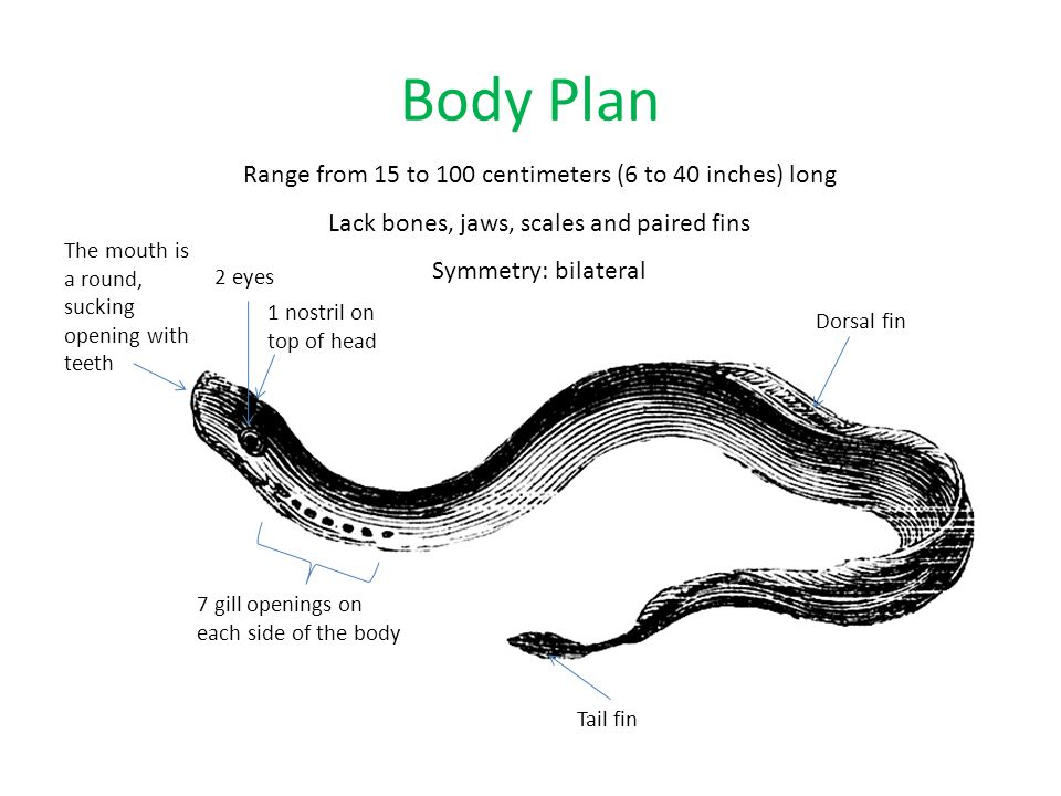 Body Plan Range from 15 to 100 centimeters (6 to 40 inches) long