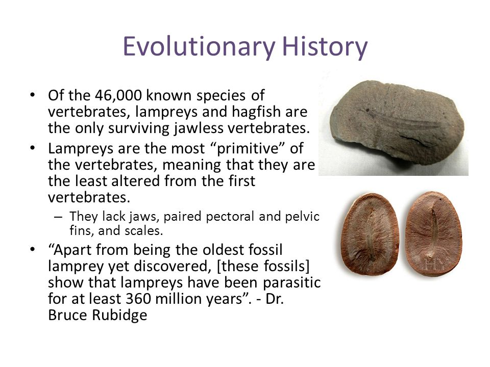 Evolutionary History Of the 46,000 known species of vertebrates, lampreys and hagfish are the only surviving jawless vertebrates.