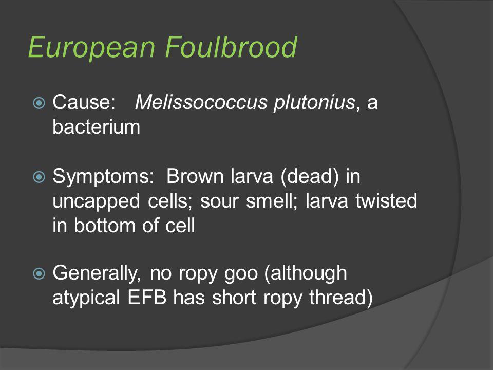European Foulbrood Cause: Melissococcus plutonius, a bacterium