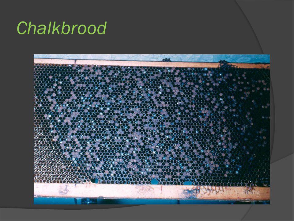 Chalkbrood