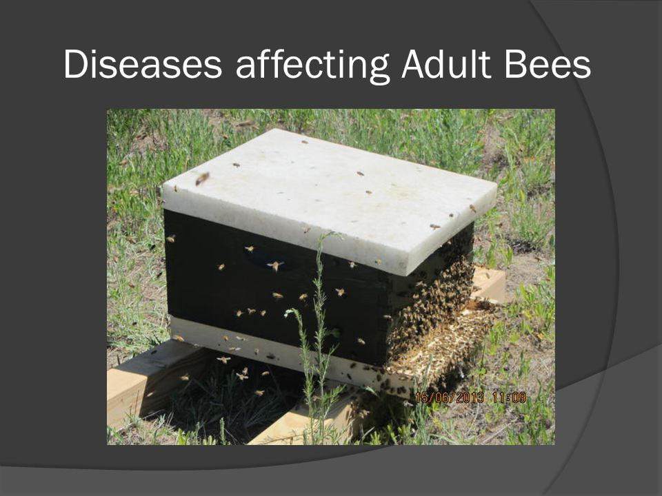 Diseases affecting Adult Bees