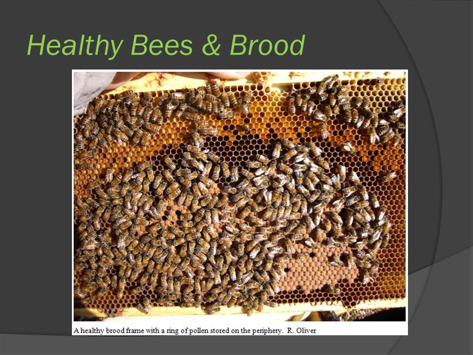 Healthy Bees & Brood