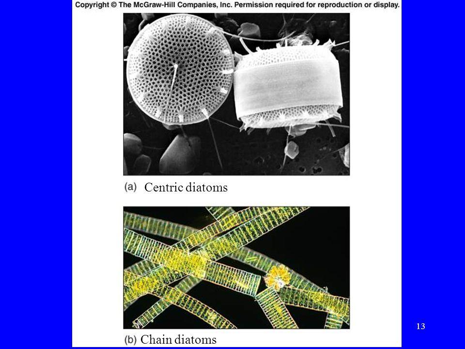 Centric diatoms Chain diatoms