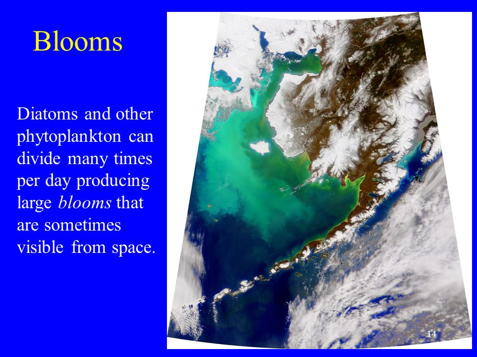 Blooms Diatoms and other phytoplankton can divide many times per day producing large blooms that are sometimes visible from space.