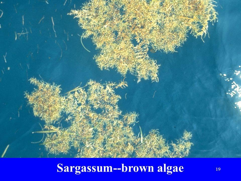 Sargassum--brown algae