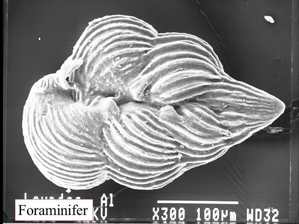Foraminifer