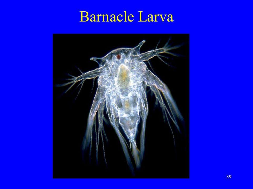 Barnacle Larva