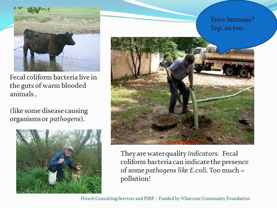 Fecal coliform bacteria live in the guts of warm blooded animals ,