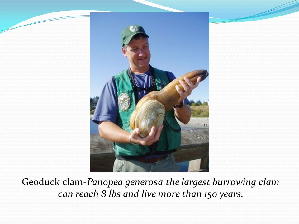 Geoduck clam-Panopea generosa the largest burrowing clam can reach 8 lbs and live more than 150 years.
