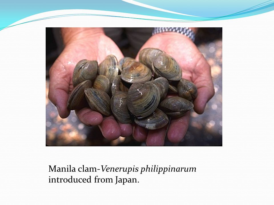 Manila clam-Venerupis philippinarum introduced from Japan.