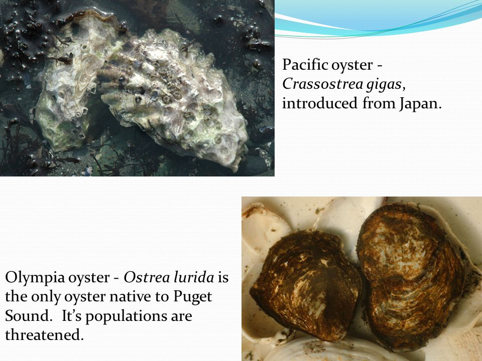 Pacific oyster - Crassostrea gigas, introduced from Japan.