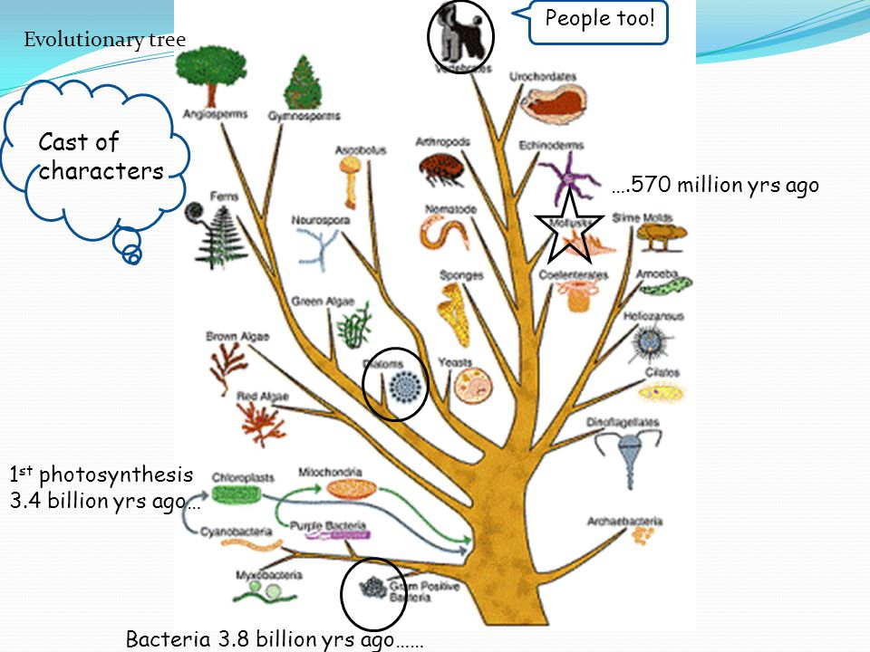 Cast of characters People too! Evolutionary tree ….570 million yrs ago