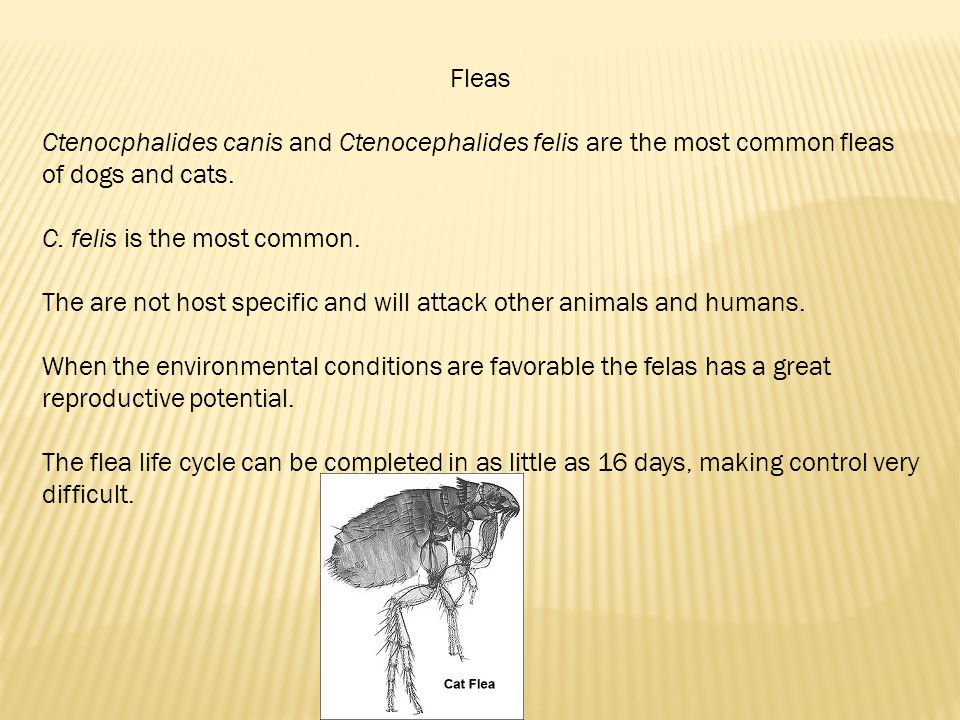 Fleas Ctenocphalides canis and Ctenocephalides felis are the most common fleas of dogs and cats. C. felis is the most common.