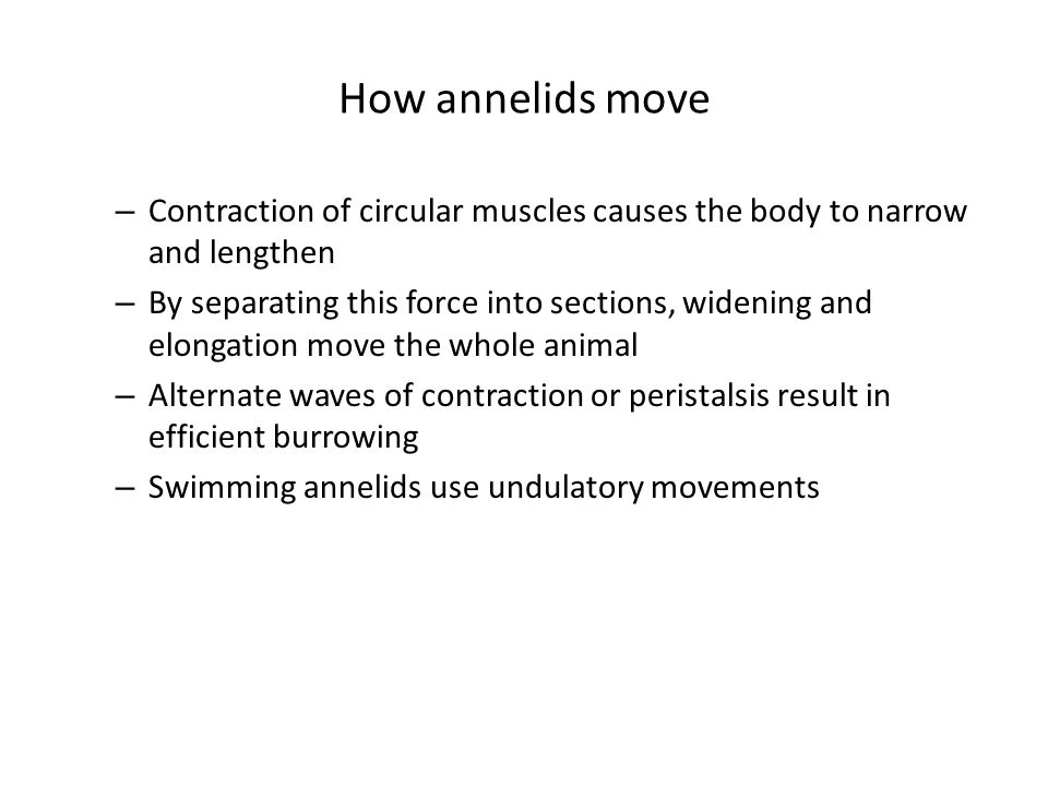 How annelids move Contraction of circular muscles causes the body to narrow and lengthen.