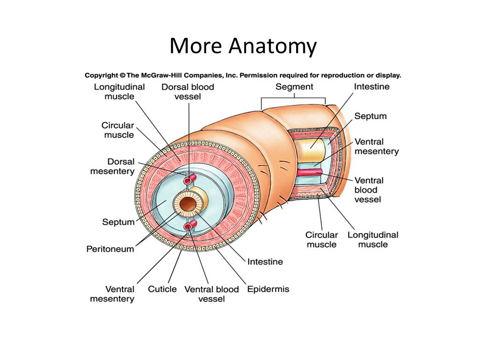Lumbricus Anatomy 2018 Images Pictures Image Gallery Lumbricus