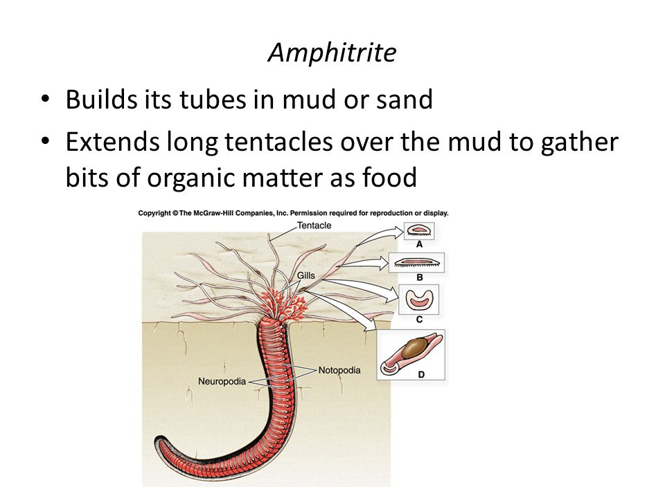 Amphitrite Builds its tubes in mud or sand.
