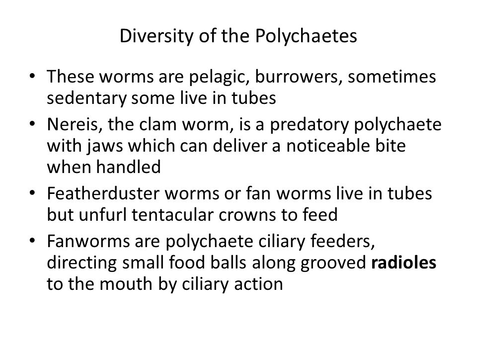 Diversity of the Polychaetes