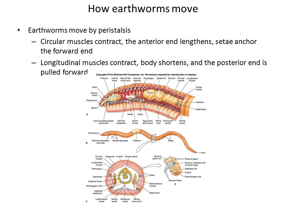 How earthworms move Earthworms move by peristalsis