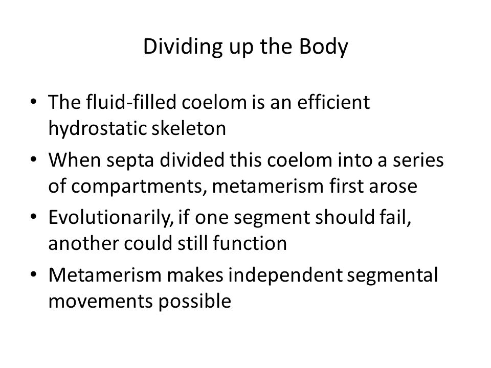 Dividing up the Body The fluid-filled coelom is an efficient hydrostatic skeleton.