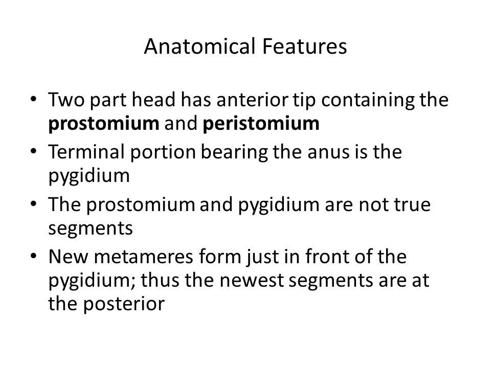 Anatomical Features Two part head has anterior tip containing the prostomium and peristomium. Terminal portion bearing the anus is the pygidium.