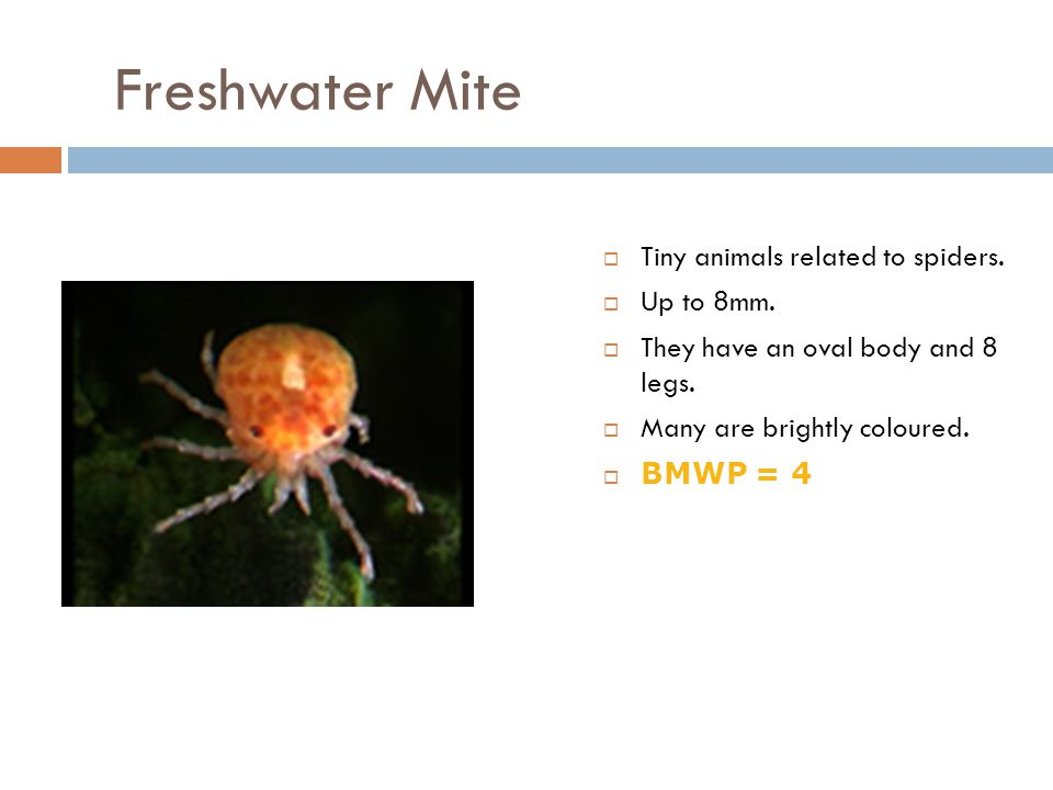 Freshwater Mite Tiny animals related to spiders. Up to 8mm.