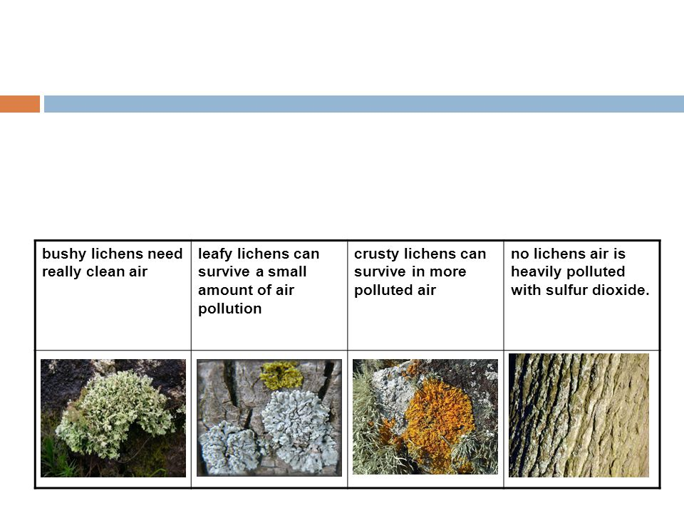 bushy lichens need really clean air