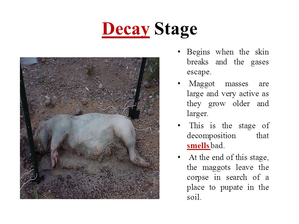 Decay Stage Begins when the skin breaks and the gases escape.
