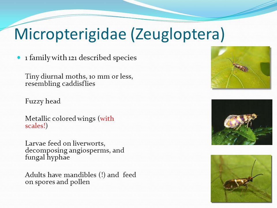 Micropterigidae (Zeugloptera)