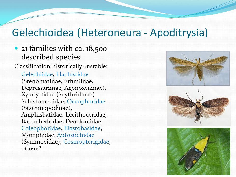 Gelechioidea (Heteroneura - Apoditrysia)