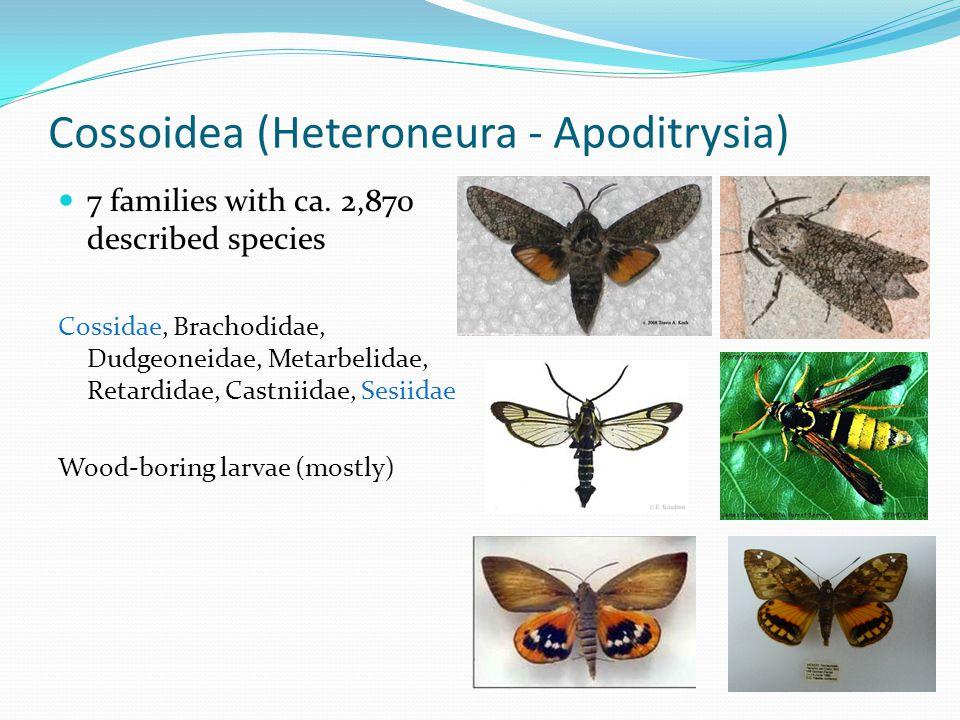 Cossoidea (Heteroneura - Apoditrysia)