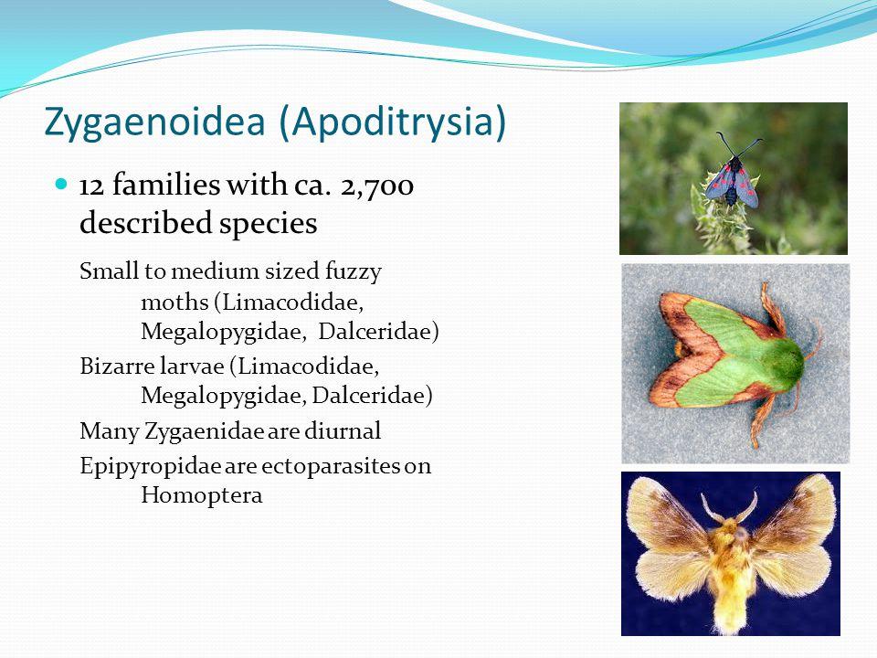 Zygaenoidea (Apoditrysia)
