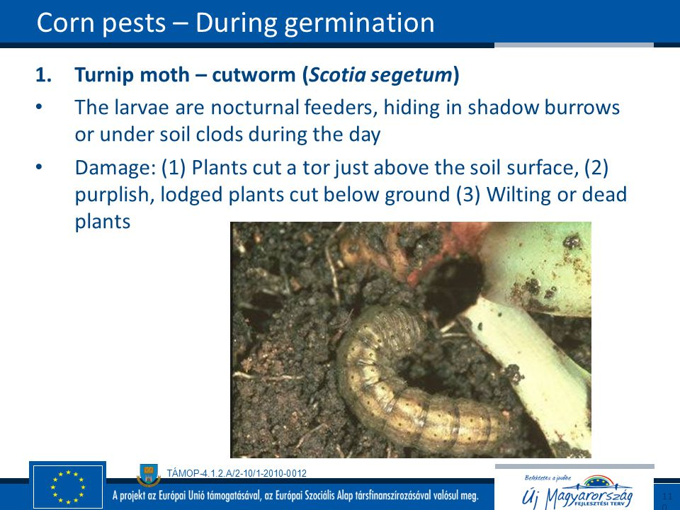 Corn pests – During germination