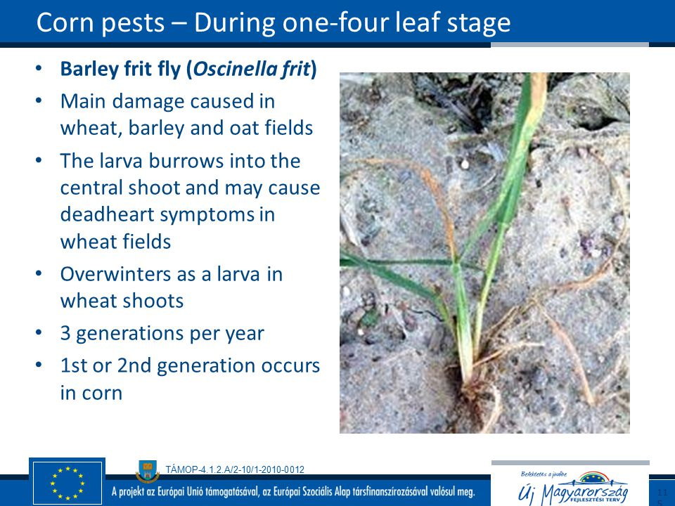Corn pests – During one-four leaf stage
