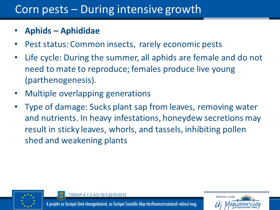 Corn pests – During intensive growth
